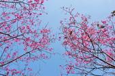 楊梅觀光茶園裡的櫻花:楊梅觀光茶園裡的櫻花 (18).jpg