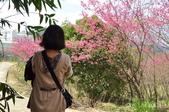 楊梅觀光茶園裡的櫻花:DSC_0394.jpg