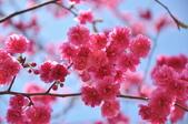 楊梅觀光茶園裡的櫻花:楊梅觀光茶園裡的櫻花 (38).jpg