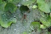 水晶宮&盤絲洞~長疣馬蛛:DSC_0697.jpg