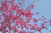 楊梅觀光茶園裡的櫻花:楊梅觀光茶園裡的櫻花 (21).jpg