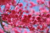 楊梅觀光茶園裡的櫻花:楊梅觀光茶園裡的櫻花 (39).jpg