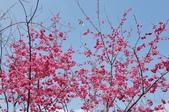 楊梅觀光茶園裡的櫻花:楊梅觀光茶園裡的櫻花 (22).jpg