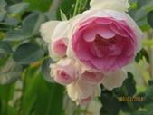 18-03-03(4)雲林縣-古坑鄉-蘿莎玫瑰山莊:蘿莎玫瑰山莊11玫瑰品種-維薩里.jpg