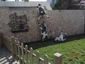 18-03-03(3)雲林縣-崙背鄉-千巧谷牛樂園牧場:千巧谷牛樂園牧場1入口。幾隻翻牆的小牛,相當可愛.jpg