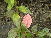 2006-12-10 水溝的驚喜:17福壽螺卵
