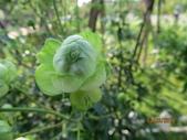18-03-03(4)雲林縣-古坑鄉-蘿莎玫瑰山莊:蘿莎玫瑰山莊9玫瑰品種-綠色的Wakana.jpg