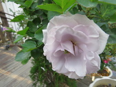 18-03-03(4)雲林縣-古坑鄉-蘿莎玫瑰山莊:蘿莎玫瑰山莊13玫瑰.jpg