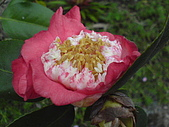 2006-12-10 水溝的驚喜:21水溝邊盛開的紅茶花