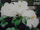牡丹花:牡丹2.J