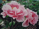 牡丹花:牡丹3.J