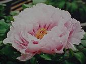 牡丹花:牡丹4.J