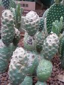 植物108仙人掌:仙人掌3-1團扇仙人掌類,松笠團扇,仙人掌科(花博未來館).JPG