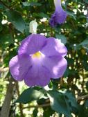 植物89-爵床科:灌木483-2立鶴花.JPG