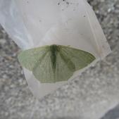 綠翠尺蛾:綠翠尺蛾5.JPG