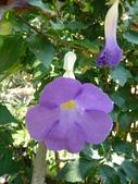 植物89-爵床科:灌木483-3立鶴花.JPG