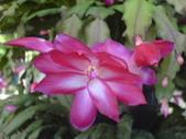 植物108仙人掌:仙人掌101-2節段型仙人掌類,蟹爪仙人掌.JPG