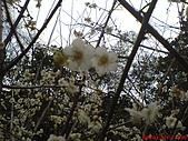 2008-1-1(2)南投-信義風櫃斗賞梅:信義風櫃斗15賞梅.JPG