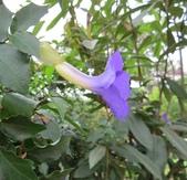 植物89-爵床科:灌木483-6立鶴花.JPG