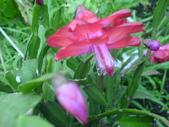 植物108仙人掌:仙人掌101-3節段型仙人掌類,蟹爪仙人掌.JPG