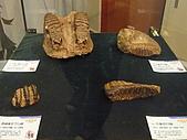 2008-6-20(1)嘉義市-東區(嘉義市立博物館):博物館13冰原巨獸展.JPG