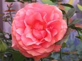 18-03-03(4)雲林縣-古坑鄉-蘿莎玫瑰山莊:蘿莎玫瑰山莊12玫瑰.jpg