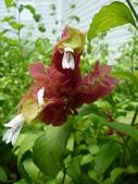 植物89-爵床科:灌木485-1紅蝦花,爵床科,多年生常綠小灌木(爭艷館).JPG