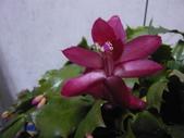 植物108仙人掌:仙人掌101-5節段型仙人掌類,蟹爪仙人掌.JPG