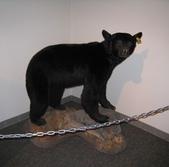 13-03-18(4)費爾德鎮-觀光局資訊中心:費爾德資訊中心11傑克熊標本.jpg