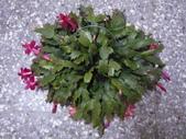 植物108仙人掌:仙人掌101-6節段型仙人掌類,蟹爪仙人掌.JPG
