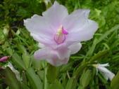 植物108仙人掌:仙人掌102-2節段型仙人掌類,蟹爪仙人掌.JPG