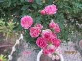 18-03-03(4)雲林縣-古坑鄉-蘿莎玫瑰山莊:蘿莎玫瑰山莊10玫瑰品種-紫薰衣。世界最小的玫瑰花!花色由粉淡轉深濃色.jpg