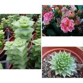植物107多肉植物-景天科:相簿封面