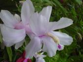 植物108仙人掌:仙人掌102-3節段型仙人掌類,蟹爪仙人掌.JPG