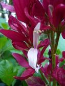 植物89-爵床科:灌木487-1赤苞花,爵床科赤苞花屬,常綠灌木(紅苞花、紅斗篷).JPG