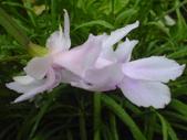 植物108仙人掌:仙人掌102-4節段型仙人掌類,蟹爪仙人掌.JPG
