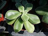 植物107多肉植物-景天科:多肉植物455-1三色銀晃星,景天科擬石蓮屬.JPG