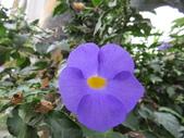 植物89-爵床科:灌木483-4立鶴花.JPG