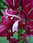 植物89-爵床科:灌木487-2赤苞花.JPG