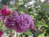 18-03-03(4)雲林縣-古坑鄉-蘿莎玫瑰山莊:蘿莎玫瑰山莊3佔地6000多坪,有室內溫室花園、戶外玫瑰花園、蘿莎小舖,園內蒐集了約500個品種的玫瑰花.jpg