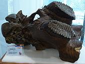 2008-6-20(1)嘉義市-東區(嘉義市立博物館):博物館15冰原巨獸展.JPG