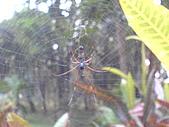 台大熱帶植物標本園和下坪:台大熱帶植物標本園內5蜘蛛.JPG