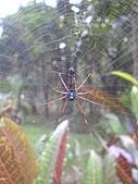 台大熱帶植物標本園和下坪:台大熱帶植物標本園內6蜘蛛.JPG