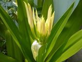 草本1三白草科、天南星科、石蒜科、玄參科:草本41-3文珠蘭x.JPG