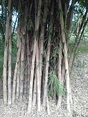 台大熱帶植物標本園和下坪:台大熱帶植物標本園內13暹羅竹.JPG