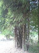 台大熱帶植物標本園和下坪:台大熱帶植物標本園內14暹羅竹.JPG