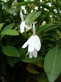 植物89-爵床科:灌木482-1白鶴靈芝,爵床科,多年生草本或亞灌木.JPG