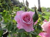 18-03-03(4)雲林縣-古坑鄉-蘿莎玫瑰山莊:蘿莎玫瑰山莊4玫瑰.jpg