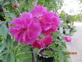 18-03-03(4)雲林縣-古坑鄉-蘿莎玫瑰山莊:蘿莎玫瑰山莊8玫瑰品種-中國娃娃.jpg