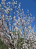 武陵農場--2011櫻花篇:武陵農場--櫻花篇 077.jpg